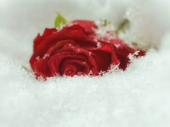 Once Upon a time... (mabumarion) Tags: winter fairytale weather crystals snowstars macro red rose snow white gebrüdergrimm onceuponthetime macromondays