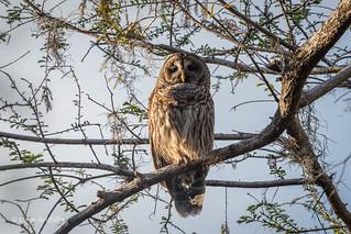 Barred Owl 500_7161.jpg