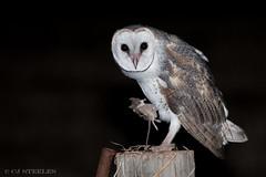 Eastern Barn Owl (chrissteeles) Tags: easternbarnowl barnowl owl raptor nocturnal bird birding birdofprey barossa sa southaustralia