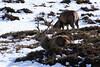 wentpwest (walter.innes) Tags: walterinnes glenshee snowcappedmountains mountainhares ptarmigan reddeer snowbuntings