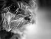 10/52 - I nose you love me. (Kirstyxo) Tags: teddy cute sweet nose dognose portrait bw 52weeksfordogs 52weeksfordogs2018 52weeksfordogs18 1052