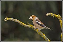 _DSC0039_Grosbec casse noayux (patounet53) Tags: coccothraustescoccothraustes fringillidés grosbeccassenoyaux hawfinch passériformes bird oiseau