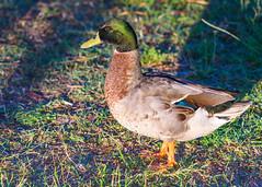 Mallard Duck (Merrillie) Tags: nsw duck woywoy wildlife australia animals nature bird birds water mallard fauna centralcoast newsouthwales animal