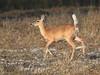 White-tailed Doe pregnant 07-20180319 (Kenneth Cole Schneider) Tags: florida miramar westmiramarwca