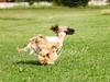 CoursingVillaverla2016w-016 (Jessica Sola - Overlook) Tags: dogs sighthounds afghanhounds greyhounds saluki barzoi italiangreyhounds irishwolfhounds lurecoursing lure race run dograces field greengrass
