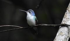 Andean Emerald / Colibrí Andino (Amazilia franciae) en Huembo, Amazonas (Fernando Angulo Pratolongo) Tags: amaziliafranciae andeanemerald