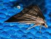Little needle tusk triangle winged snout moth Loxioda hampsoni Airlie Beach rainforest P1210503 (Steve & Alison1) Tags: little needle tusk triangle winged snout moth loxioda hampsoni noctuidae airlie beach rainforest