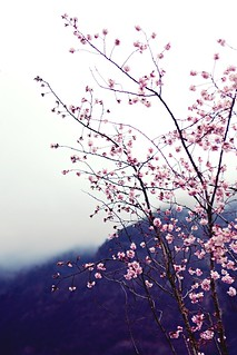 Die Südtiroler Sakura