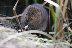 Elevenses (roger_forster) Tags: arvicolaamphibius watervole titchfieldhaven nature reserve canal eating wild mammal hillhead fareham hampshire hiwwt