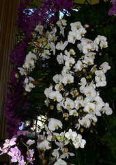 the 2018 pacific orchid exposition: Phalaenopsis orchid hybrid 2-18 (nolehace) Tags: phalaenopsis orchid hybrid 218 sfos poe pacificorchidexposition pacific exposition flower bloom plant winter nolehace sanfrancisco fz1000 series goldengatepark county fair building