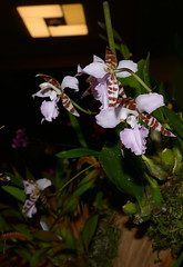 the 2018 pacific orchid exposition: Rhynchostele ehrenbergii species orchid 2-18 (nolehace) Tags: rhynchostele ehrenbergii species orchid 218 sfos poe pacificorchidexposition pacific exposition flower bloom plant winter nolehace sanfrancisco fz1000 series goldengatepark county fair building