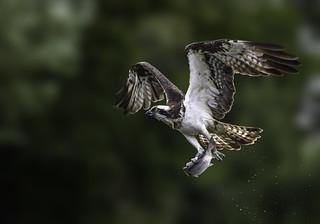 Osprey - Pandion haliaetus Explored 25-3-18