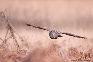 Great Gray Owl - IMG_0895