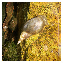 Pond Snail (Julie (thanks for 9 million views)) Tags: snailsaturday lymnaea pondsnail hss 2018onephotoeachday fauna garden water rock algae mollusc invertebrate iphonese squareformat macro animal nature texture