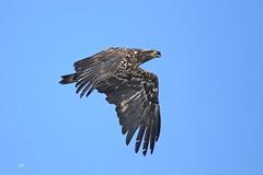 Pygarque à tête blanche (Juvénile) / Bald Eagle (Immature) (alainmaire71) Tags: oiseau bird rapace raptor accipitridae haliaeetusleucocephalus pygargueàtêteblanche baldeagle nature quebec canada
