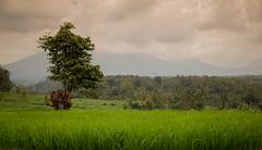 Bali Rice Field (Chris M. S) Tags: rice field bali ubud indonesia travel canon 6d tamron2470 tamron 24mm travelling landscape landscapephotography landschaft landschaftsfotografie lights plants earth planet nature naturephotography