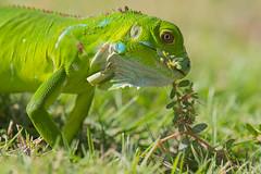 Young green iguana (tomaszberlin) Tags: wildlife nature nikon d500 green invasive islands cayman iguana lizard