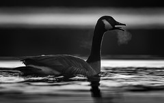 Canada Goose (redforester) Tags: anthonycedrone goos fog bresth cold pond winter bird