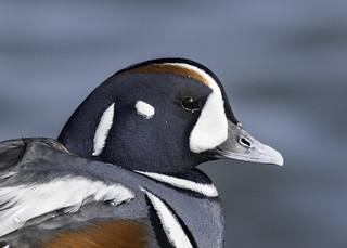 Harlequin Duck (Explored 3-18-18)