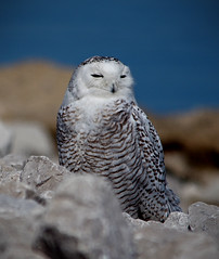 Snowy Owl (female) (Rick Lanting) Tags: snowyowl muskegon sigma pentax