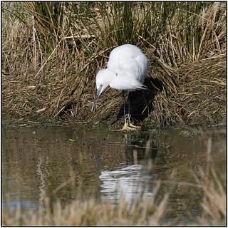 Little Egret (image 3 of 3)
