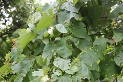 Mallotus polycarpus_SGNP Shilonda3 (Alka Khare) Tags: mallotus euphorbiaceae