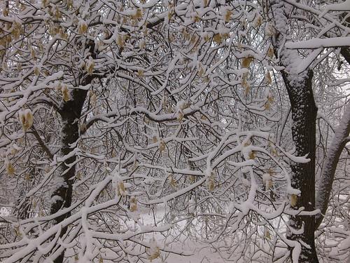 Снег на ветках ©  ayampolsky
