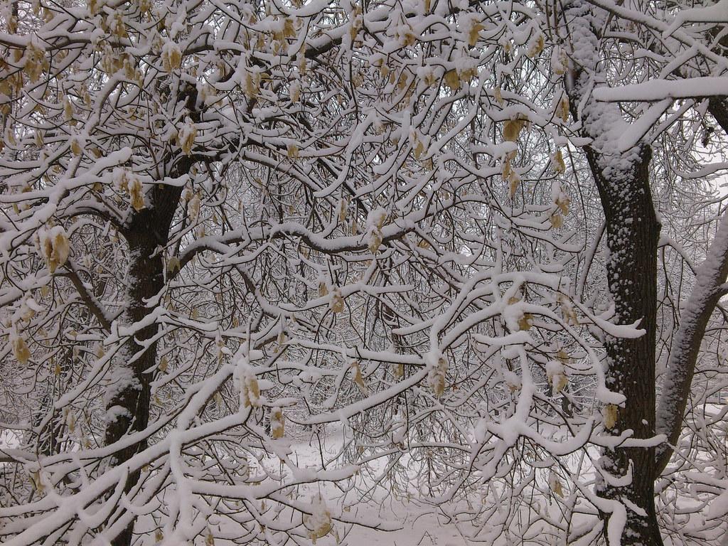 фото: Снег на ветках