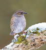 Dunnock-3485 (martinpettinger) Tags: wind east drift snow ice white spring late weather continental england country west somerset garden blizzards survival cold freezing starvation snowflakes storm winter dunnock hedge sparrow