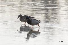 _00A1880 (giloudim) Tags: patiner glace canards eau gel exterieur reflections canon7dmarkii bec belgique couple froid