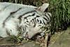 White Tiger (K.Verhulst) Tags: whitetiger wittetijgers tijgers tijger cats cat amersfoort dierenparkamersfoort wittetijger
