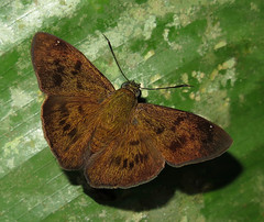 Telemiades epicalus (Camerar 4 million views!) Tags: butterfly hesperiidae peru telemiadesepicalus butterflies insect