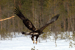 The big eagle nearby swamp. (irio.jyske) Tags: nature naturephoto naturepictures naturephotograph naturepic naturescape naturephotos naturephotographer naturepics landscape landscapephotograph lanscape landscapepic landscapes antenna gbs ringed eagle forest swamp trees forrest colors beauty few flight