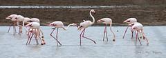 Molestas tio (parece decir). (José Luis Pérez Navarro) Tags: flamencos flamingos aves birds agua water animals wild wildlife joseluisperez blacky2007 nikon d90 andujar andalucia spain nature natura naturaleza walking flamingo flamenc