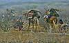 Ethiopia- Danakil- Afar nomads (venturidonatella) Tags: africa etiopia ethiopia danakil dancalia afar afarpeople people persone gentes nomadi nomads street streetscene nikon nikond300 d300 deserto desert minorities minoranza minoranzaetnica cammelli camels ngc