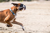 10/52 the treasure hunt (Kerstin Mielke) Tags: kurt boxerdog 52weeksfordogs bone treasure hunt