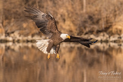 Bald Eagle makes the catch - 15 of 33