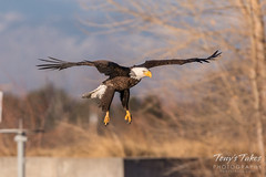Bald Eagle makes the catch - 9 of 33