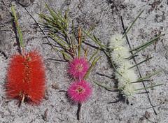 Melaleuca lateritia x teretifolia, M. lateritia [left] and M. teretifolia [right], Jandakot Regional Park, near Perth, WA, 01/12/17 (Russell Cumming) Tags: plant melaleuca melaleucalateritia melaleucateretifolia melaleucalateritiaxteretifolia myrtaceae jandakotregionalpark perth westernaustralia