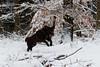 Leo der Labrador (Klaus R. aus O.) Tags: hund hunderasse leo labrador braun wald schnee baum laufen springen freund tier haustier