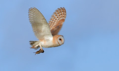 Barn Owl (with prey) (KHR Images) Tags: barnowl barn owl tytoalba wild bird birdofprey withprey withvole flying nenewashes cambridgeshire fens wildlife nature nikon d500 kevinrobson khrimages
