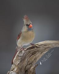 Northern Cardinal (F) (Bill McDonald 2016) Tags: cardinal winter northern canada ontario perched perch bill mcdonald female