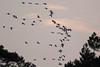 Kraanvogel - Grus grus - Common Crane (merijnloeve) Tags: kraanvogel grus common crane sintmichielsgestel landgoed zegenwerp golfterrein nb gemeente noordbrabant brabant noord trekvogel lucht vliegen fly flight rare zeldzaam dutch birding