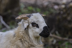 UN MONTONE    ----    A RAM (Ezio Donati is ) Tags: natura nature animali animals foresta forest africa costadavorio lagunesdeabidjan