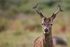 cerf-0038 (philph0t0) Tags: cervuselaphus cerfélaphe cervus elaphus cerf élaphe reddeer red deer stag rut brame animal mammifére mamal forêt arbre