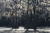 Shimmering Moss (jojo (imagesofdream)) Tags: swamp bayou southern region moss cypress mist