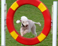 Jump through hoops (Tony Worrall) Tags: capture outside outdoors caught photo shoot shot picture captured dog doggy jump through ring hoops show event cute pet fun play jumper game showoff