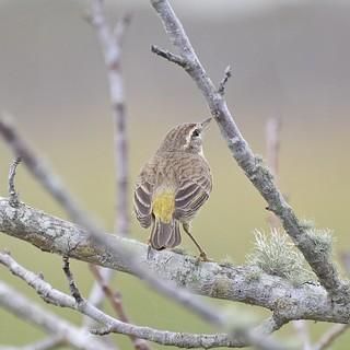 Palm Warbler  #3