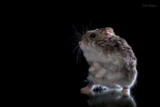 Dancing Hamster