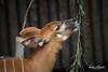 Bongo Antelope (ToddLahman) Tags: bongo bongoantelope antelope animalcarecenter animal beautiful outdoors sandiegozoosafaripark safaripark canon7dmkii canon canon100400 closeup portrait escondido